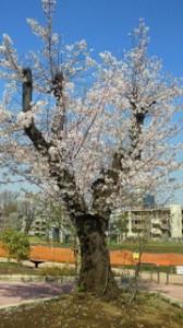 H24.04.12かしわ公園桜携帯縮小