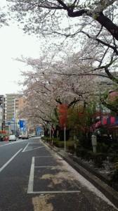 H25.03.30東通り桜